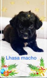 Lhasa apso filhote macho