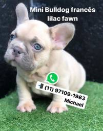 Mini Bulldog Frances Lilac Fawn Pied Exotico