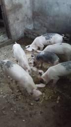 Título do anúncio: Vendo filhotes de porco