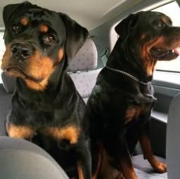 Rottweiler porte G, filhotes linhagem exclusiva