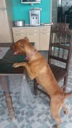 Vende- se uma cachorra Pitbull