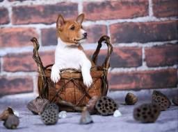 Filhotes de Basenji, canil ps