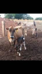 Vacas jersey em Senador Canedo