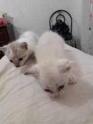 Um casal de filhotes de gato siamês para doar