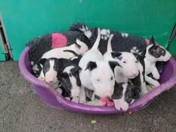 Bull Terrier Inglês (11)94105-6855