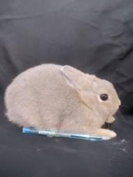 Mini coelho/Coelho anão