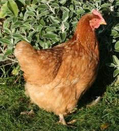 Doa se 5 galinhas