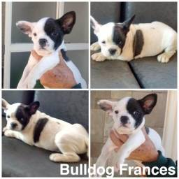 Bulldog Frances com pedigree e microchip