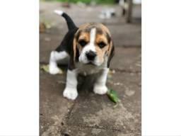 Beagle Macho!