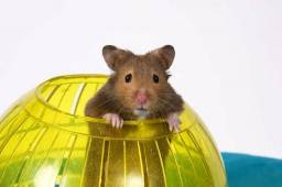 Alguem tem Hamster aqui pra vender?