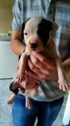 Filhotes de American staffordshire terrier com pitbull!