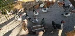 Patos e patas para sua criação