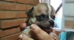 Chihuahua x Pinscher 100 cada.chama no Whats 9 9227.5186 entregamos