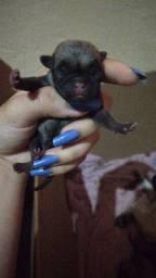Pug's lindos de otima linhagem