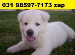 Canil Belos Cães Filhotes em BH Akita Boxer Labrador Rottweiler Dálmatas Golden