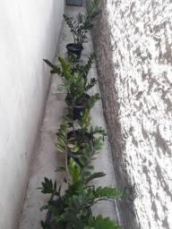 Título do anúncio: ZAMIOCULCA lindas plantas para decorar seu lar e manter o astral.
