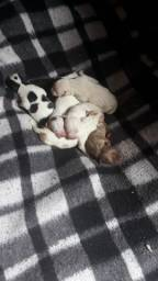 Título do anúncio: Lindos filhotes de pitbull puro !