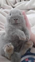 Título do anúncio: A menor raça de coelho
