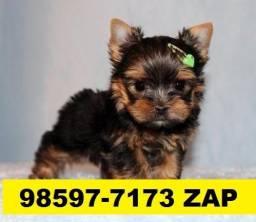 Canil Filhotes Cães Premium BH Yorkshire Poodle Basset Pug Shihtzu Bulldog Lhasa