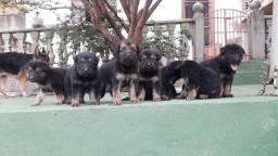 Vendo filhotes pastor alemão