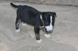 Filhotes de Mini Bull Terrier Macho com 50 dias. aceito CARTÃO e propostas!!!