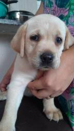 Labrador Retriever Filhote