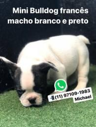 Mini Bulldog Francês Macho Piratinha