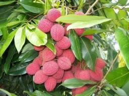 Frutas exótica lichia/