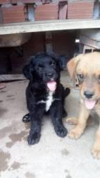 Vende cachorro rottweiler com fila brasileiro