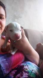 Vendo lindos filhotes de Pitbull