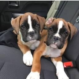 Boxer lindos filhotes disponíveis macho e fêmea com garantias inclusas