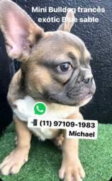 Mini Bulldog Frances Blue Sable Macho