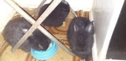 Título do anúncio: Coelhos pretos com 1 mês de vida