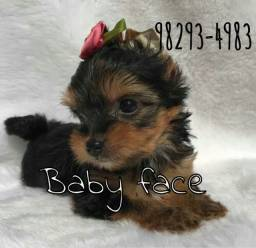 Yorkshire baby face mini