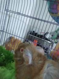 gaiola 3 andares, Hamster sírio, porquinho da índia