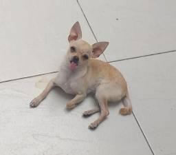 Chihuahua procura namorada