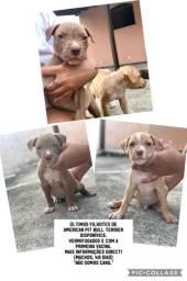 Últimos filhotes de American Pit Bull Terrier