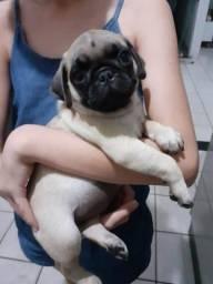 Filhote de Pug