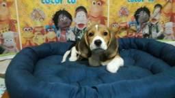 Promoção Beagle 1.500 macho ou femea