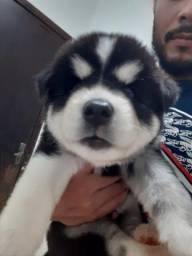 Vendo husky siberiano wolly