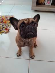 Bulldog francês para cruzar