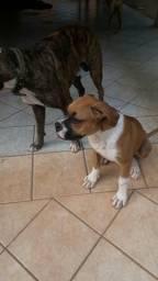 Boxer de 4 meses