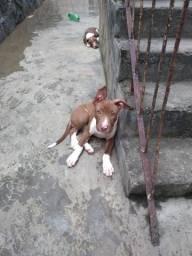 Filhotes American Pitbull Terrier