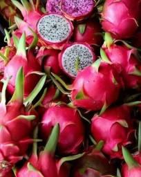 Mudas de pitaya da polpa branca e vermelha