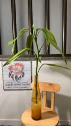 Bambu da sorte no vasinho