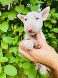 Lindas Bull Terrier Fêmeas
