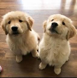 Título do anúncio: Seu novo melhor amigo!! Golden Retriever a pronta entrega
