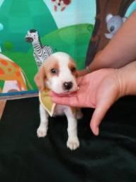 Lindos Beagle Bicolor