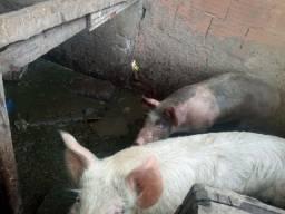 Porcos de qualidade