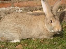 coelho macho gigante de flandes